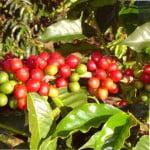 Кофе — растение из тропиков