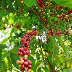 Кофеин кофейного дерева